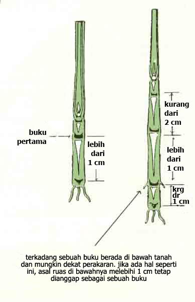 Fase stadia pertumbuhan tanaman padi gigih bertani penggunaan pupuk nitrogen urea berlebihan atau waktu aplikasi pemupukan susulan yang terlambat memicu pembentukan anakan lebih lama lewat 30 hst ccuart Images
