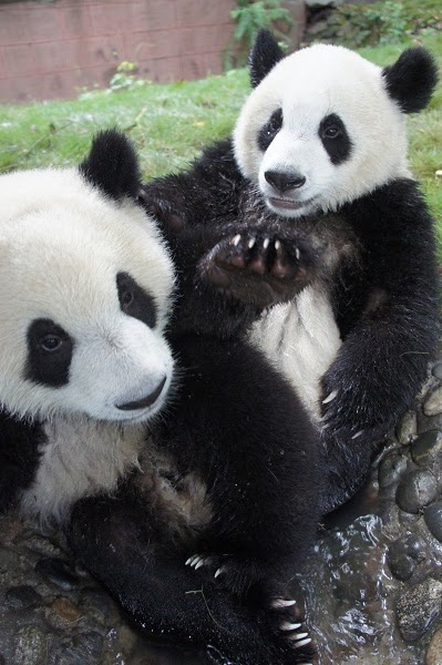 Er Xi and Yuan Zhou at the Chengdu Giant Panda Base on August 21, 2011.