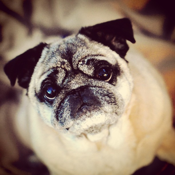 bebop the old pug