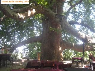 الشجرة التاريخية القديمة بورصة
