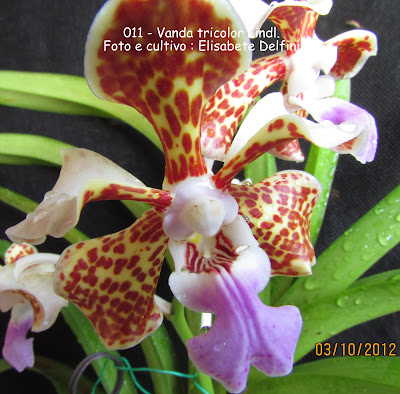Vanda tricolor Lindl. do blogdabeteorquideas
