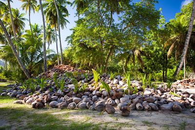 Kokosnussreste und Kokosnüsse im L'Union Estate auf La Digue