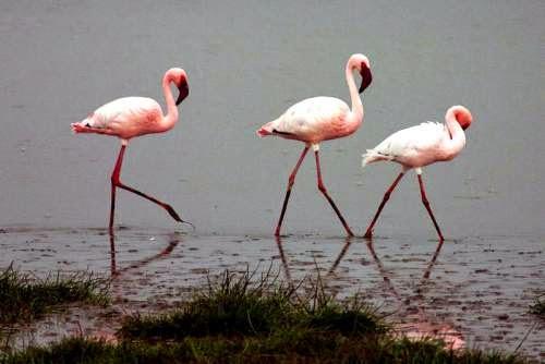 Indian bird - Lesser flamingo - Phoenicopterus minor
