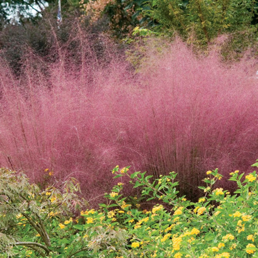 pink muhly grass a show stopper