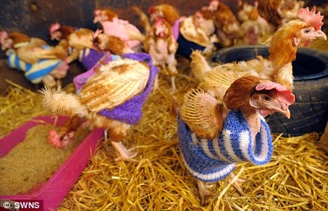 chickents in jumpers