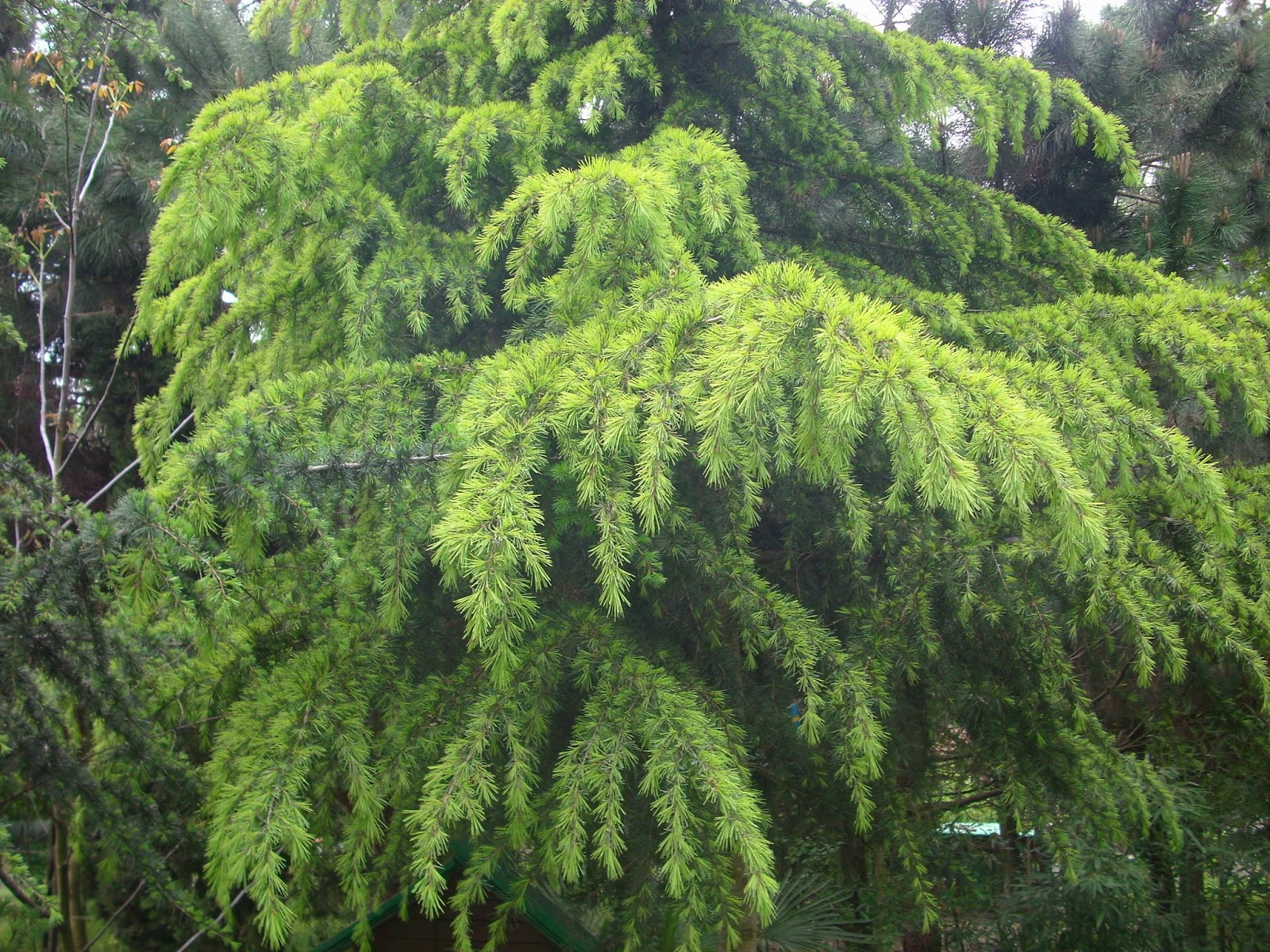 albero d alto fusto