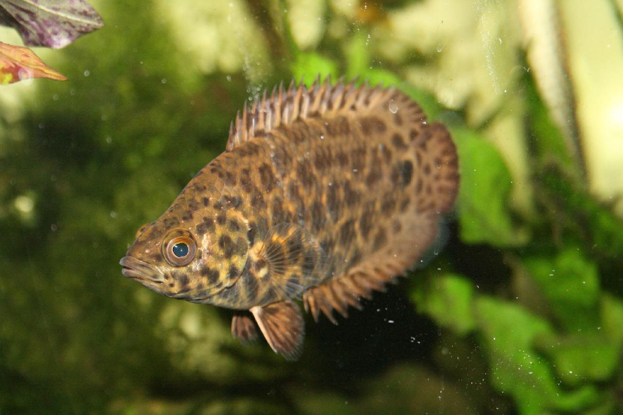 Leaf fish fishes world hd images free photos for African freshwater fish