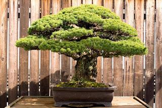 Δέντρο Bonsai