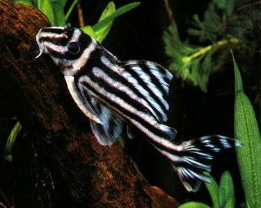 http://www.aquariumdomain.com/viewSpeciesFreshwater.php?id=220