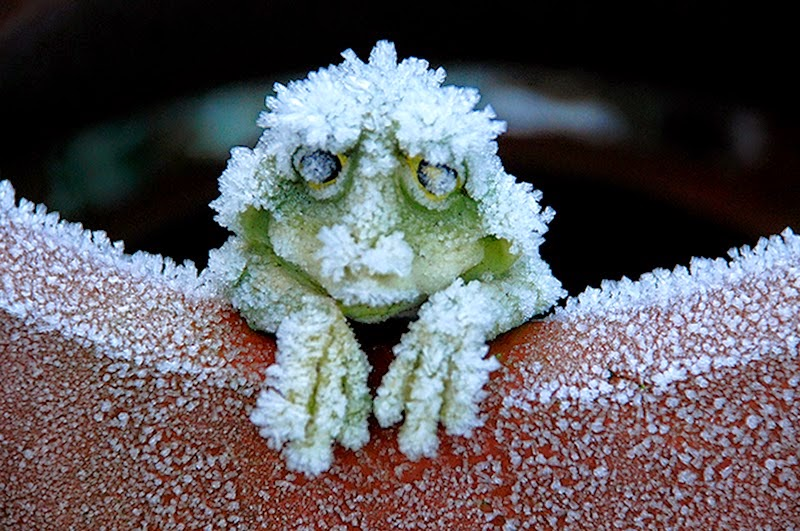 Frozen Wood Frogs: A Common Conundrum