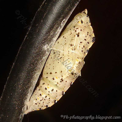Cabbage White Butterfly Pupa