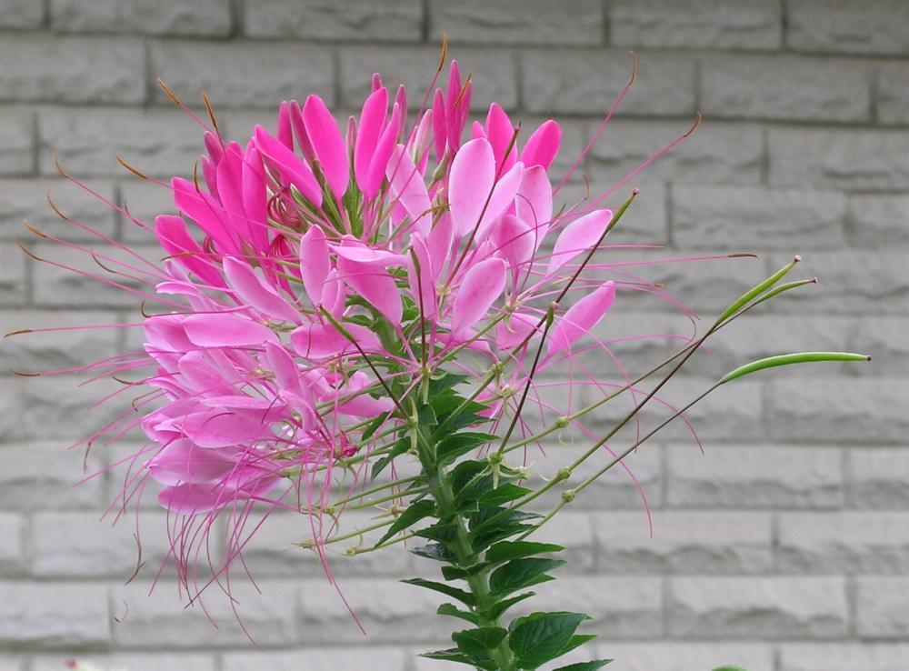 Plante araign e cleome spinosa flore de l le de la for Plante synonyme