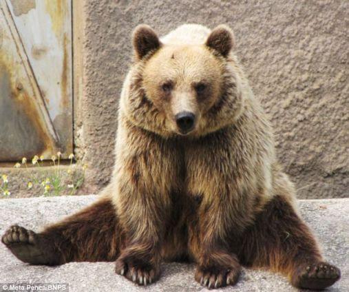 foto unik beruang yoga