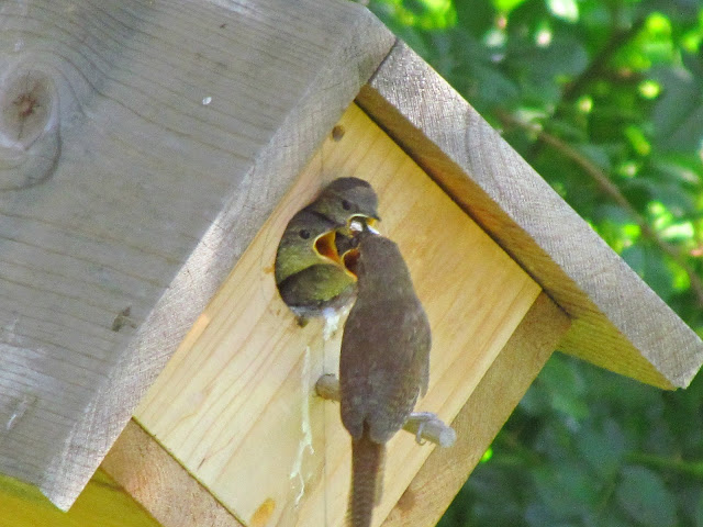 house wren nestlings feed