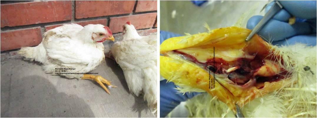 Patología Aviar. Mi diagnóstico, su concepto.: Ruptura del tendón ...
