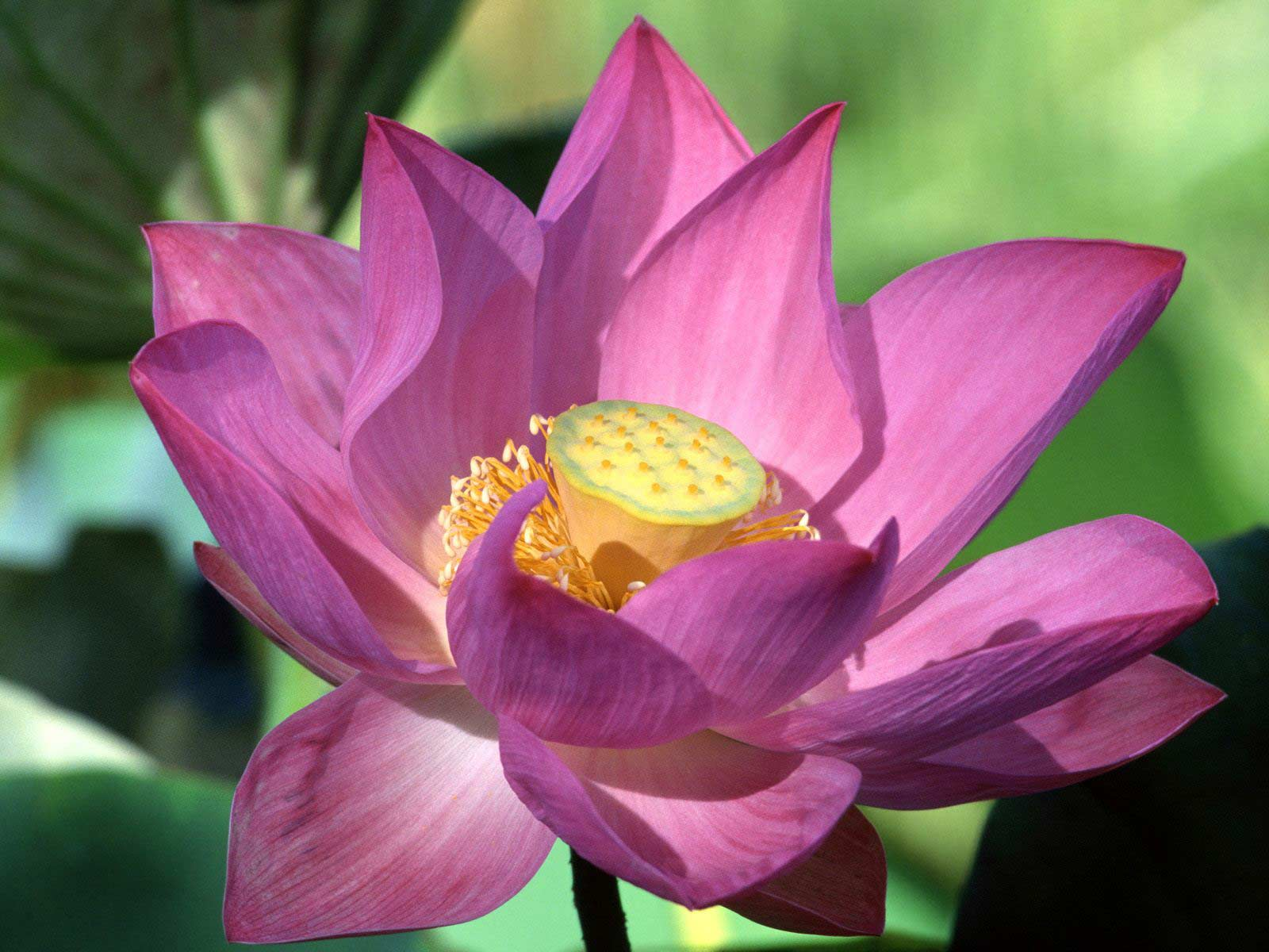 lotus flower Simple lotus flower drawings with detailed step by step guide.
