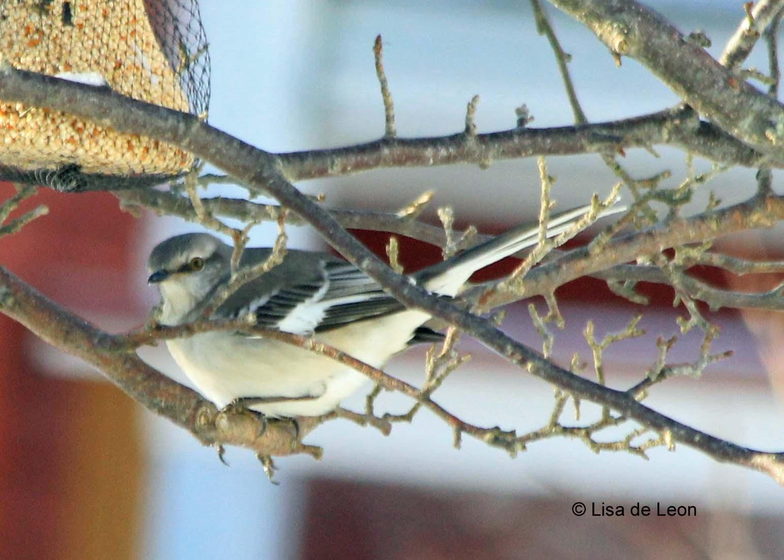 birding with lisa de leon backyard birds rare bird alert part iii