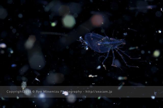 ヒメセミエビ属のフィロソーマ幼生