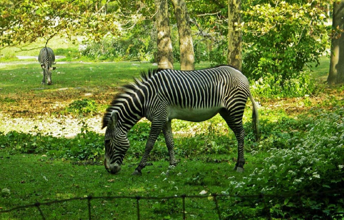 Image House | Latest Hd Wallpapers: Zebras In The Zoo ...