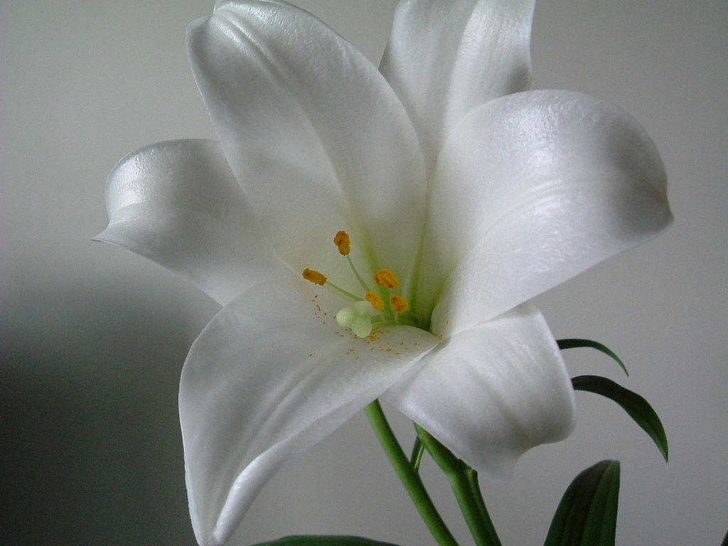Aimys Collection Wallpapers Images Screensavers White Lily Flowers