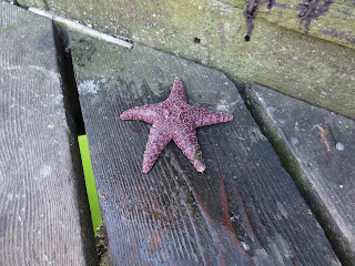 starfish on the docks in Jericho beach Vancouver, BC