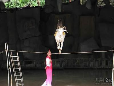 kambing atas tali