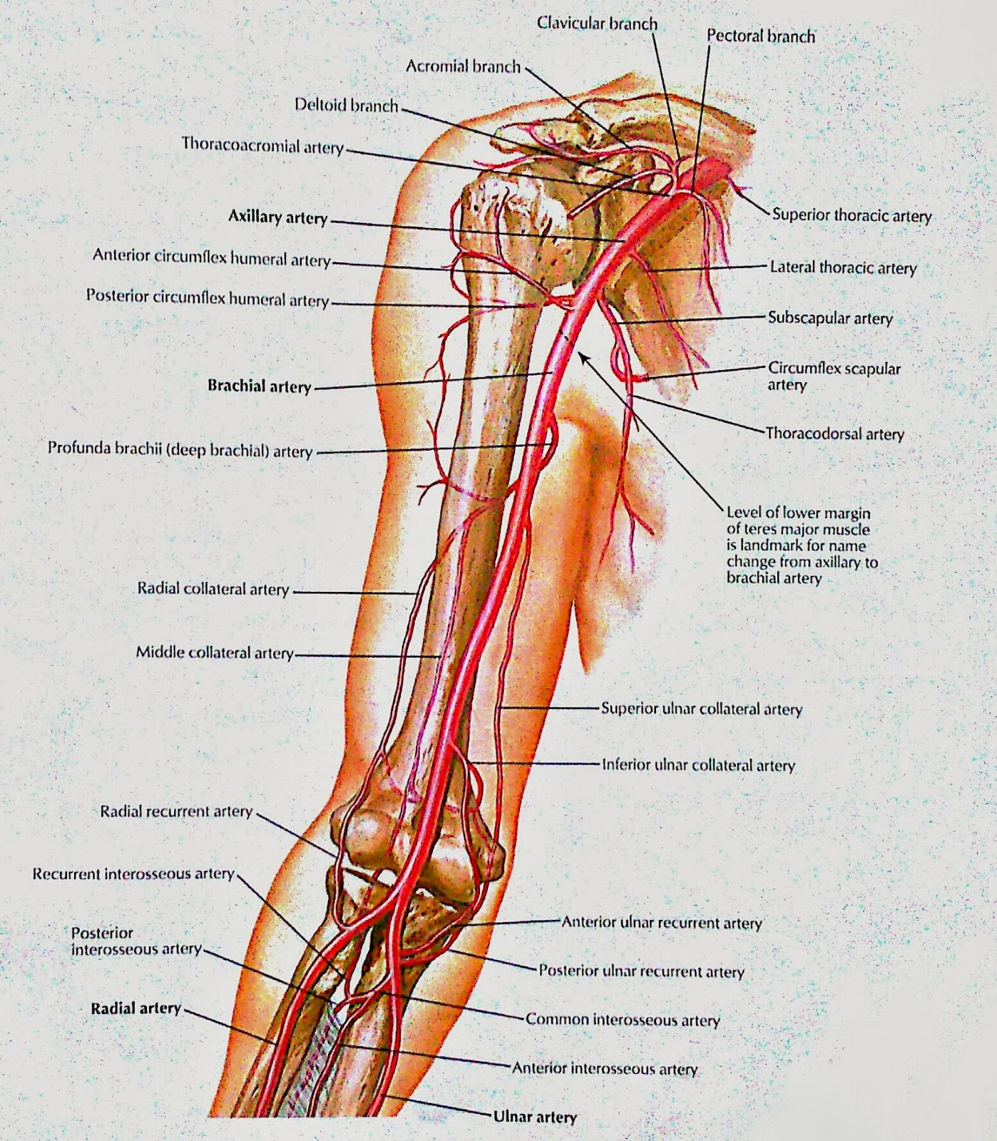 Brachial Artery & And Anastomoses around Elbow ( relation with bones ...