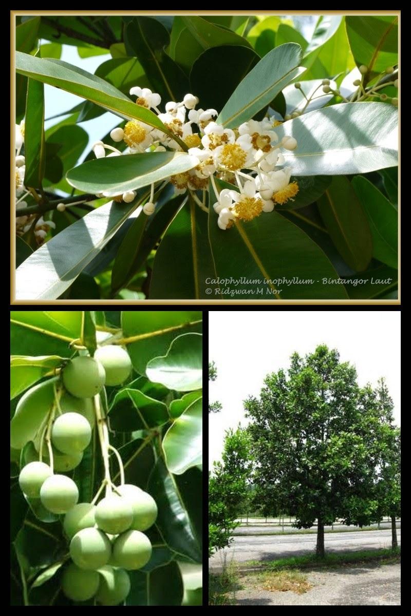 http://www.petitesastucesentrefilles.com/2015/03/zoom-sur-lhuile-de-calophylle.html