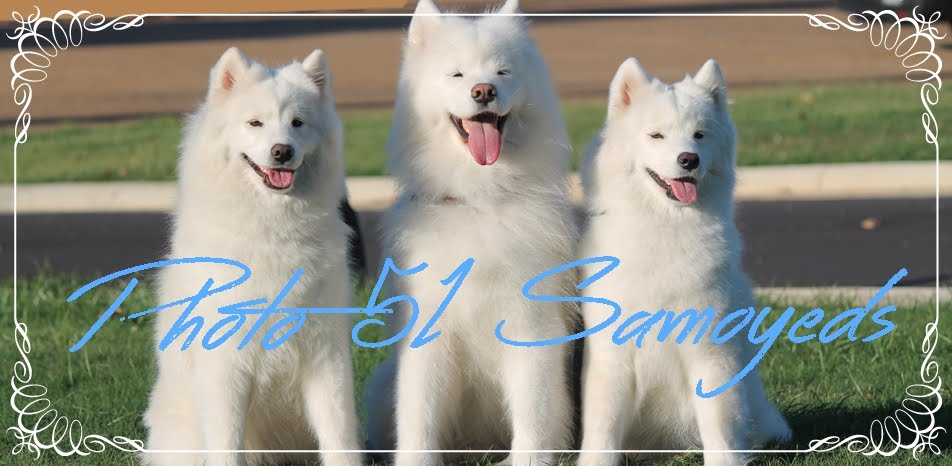 Photo 51 Samoyeds