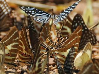 Lesser Zebra (Graphium (Paranticopsis) macareus), Chain Swordtail (Graphium (Pathysa) aristeus hermocrates)