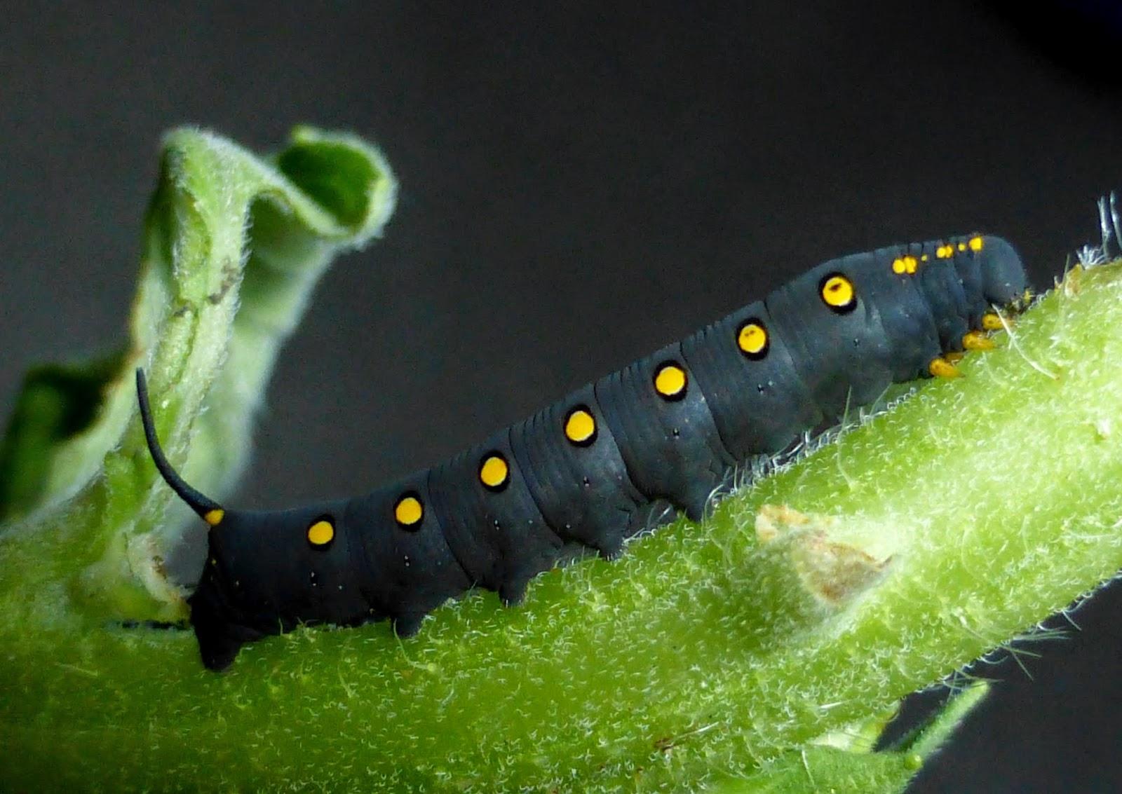 Theretra oldenlandiae caterpillar