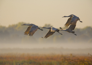 sandhill crane season in TN