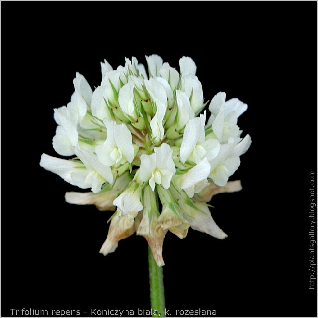 Trifolium repens - Koniczyna biała, koniczyna rozesłana kwiat