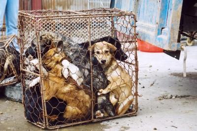 Chinese Melamine Dog Food