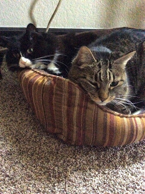 Two big cats in one small cat bed