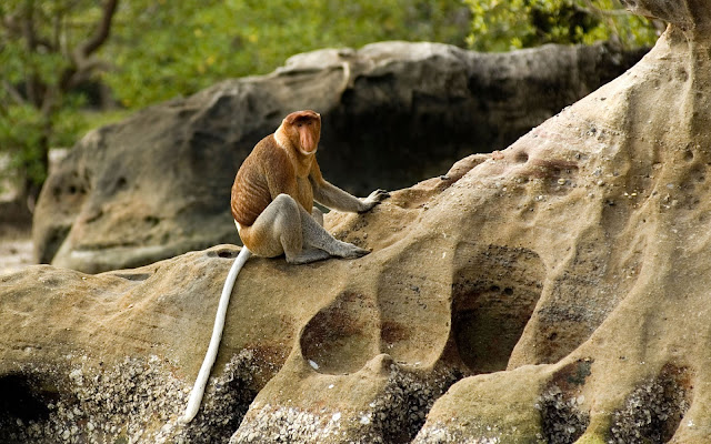 Proboscis monkeys, Bako Malaysia,