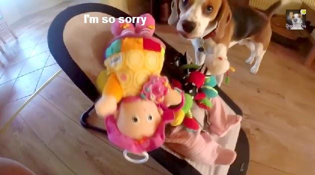 Perro Beagle se disculpa con un bebé