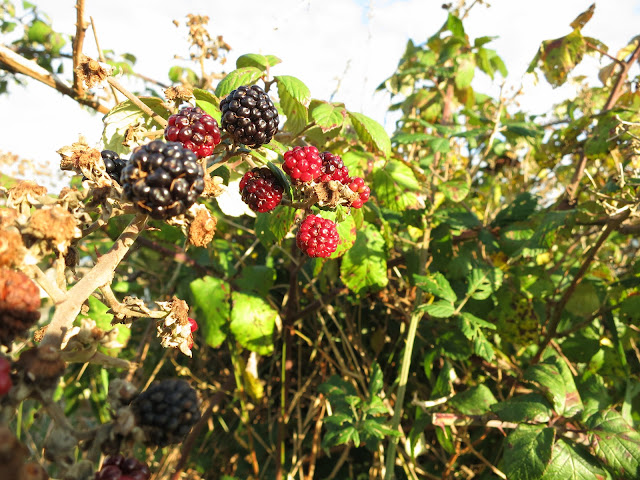 Red and Black Blackberries in same bunch.