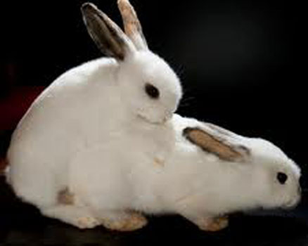 Reproducerea iepurilor