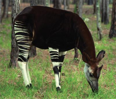World All Animals: Okapis