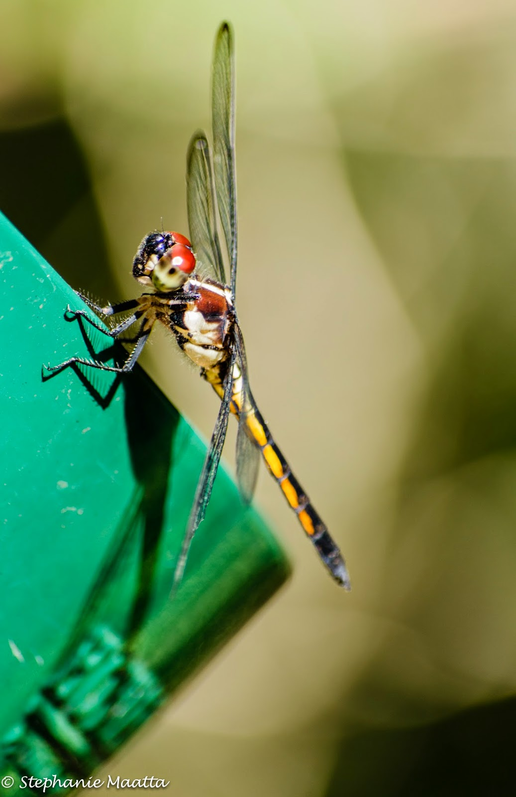 Wandering glider, dragonfly image