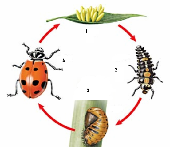 homebrewing beer ladybug life cycle