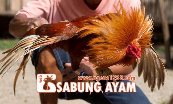 Hasil Pertandingan Arena AB6 Sabung Ayam S1228.net 19 November 2015
