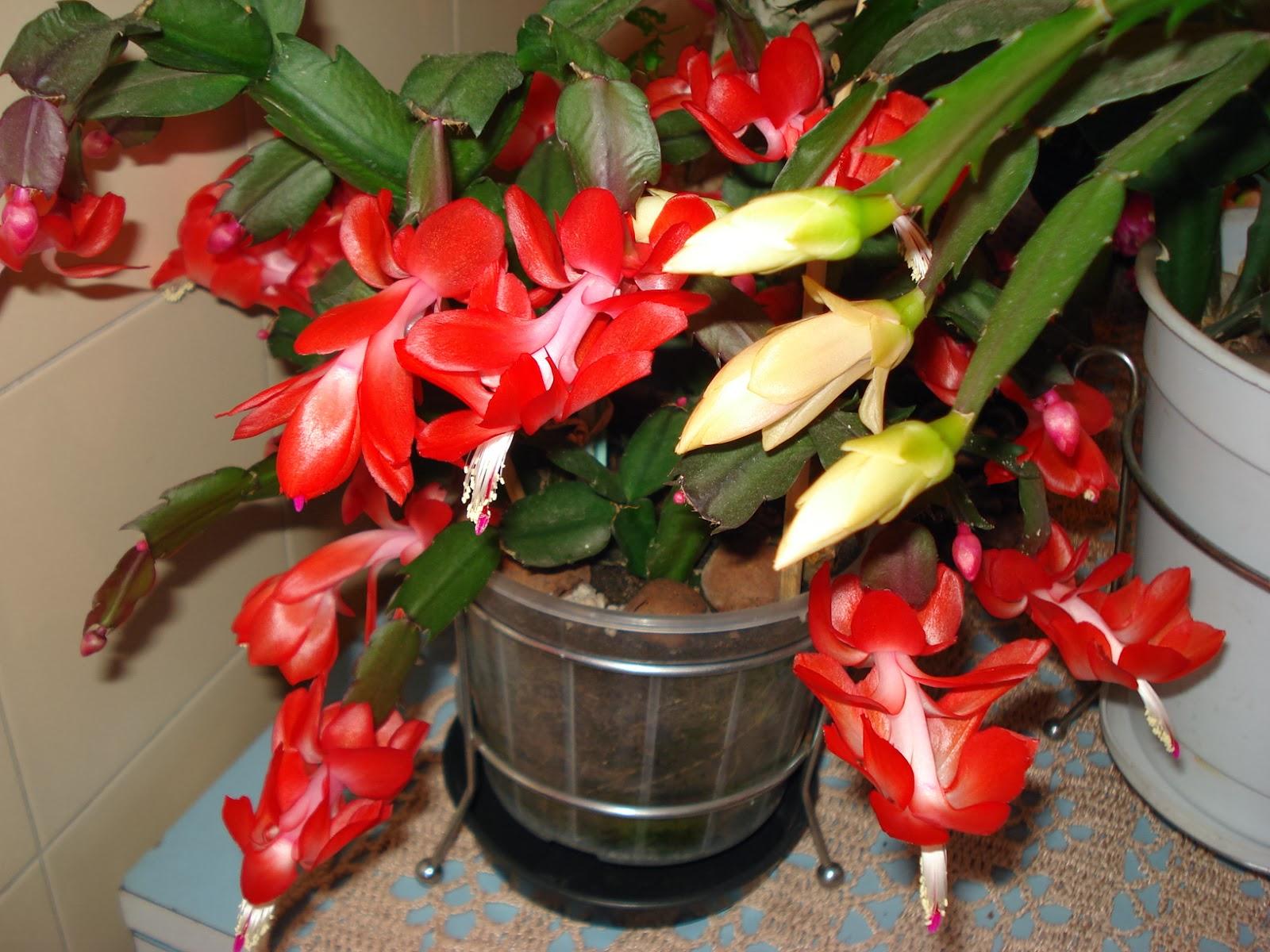 flor de maio vermelha flor maio flor de maio flor de