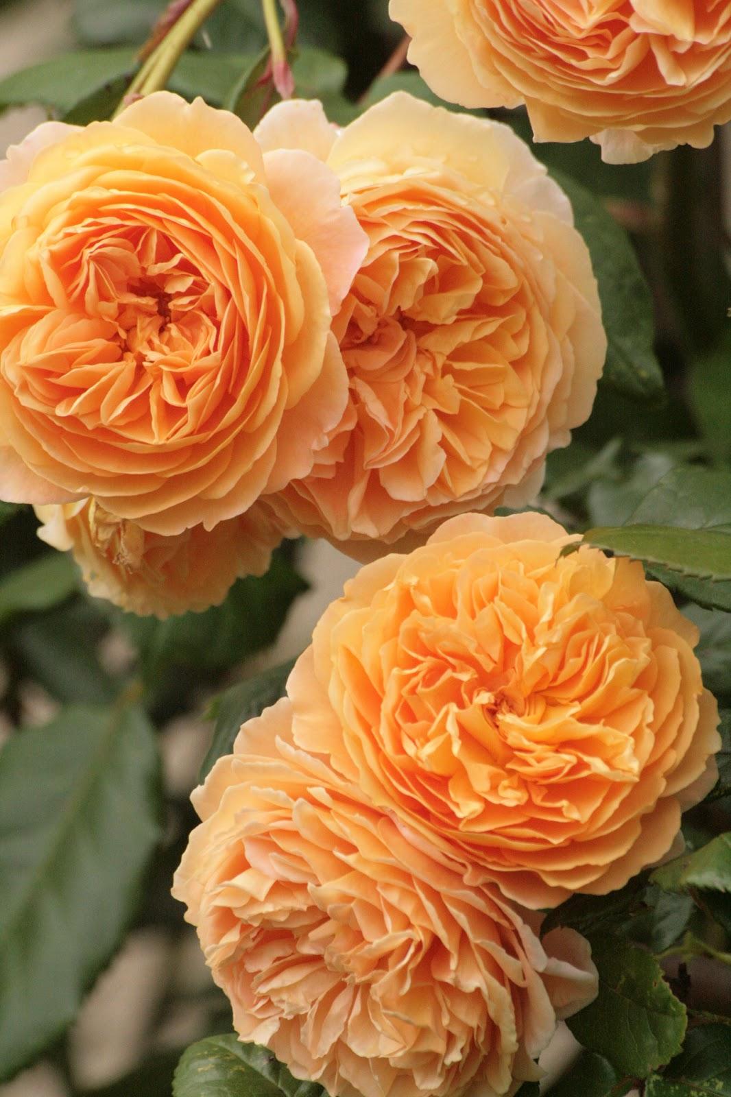 Les mains dans la terre floraisons de l 39 orange l for Rosier princesse d orient