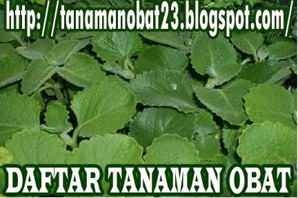 Tanaman Obat Jintan/Ajeran (Coleus amboinicus, Lour.)