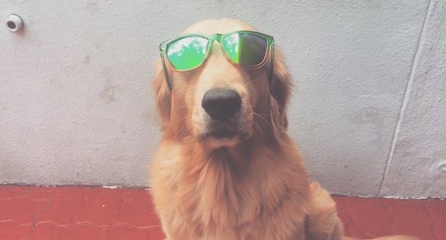 Slurpee Golden Retriever Sunglasses (kennethstephanie.com)