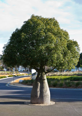 The Queensland Bottle Tree (Brachychiton rupestris) originally classified in the family Sterculiaceae, which is now within Malvaceae, is native of Queensland, Australia. Its grossly swollen trunk gives it a remarkable appearance and gives rise to the name. As a succulent, drought-deciduous tree, it is tolerant of a range of various soils, and temperatures.