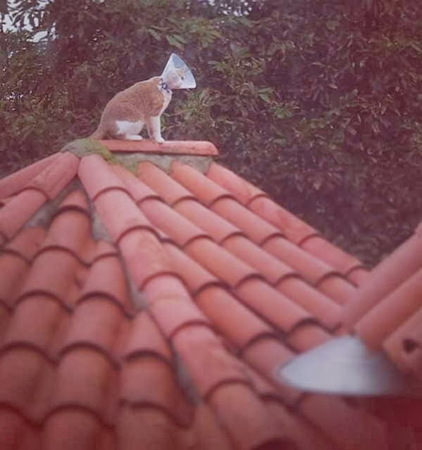 Funny cats - part 81 (40 pics + 10 gifs), cat pics, cat on roof wears cone
