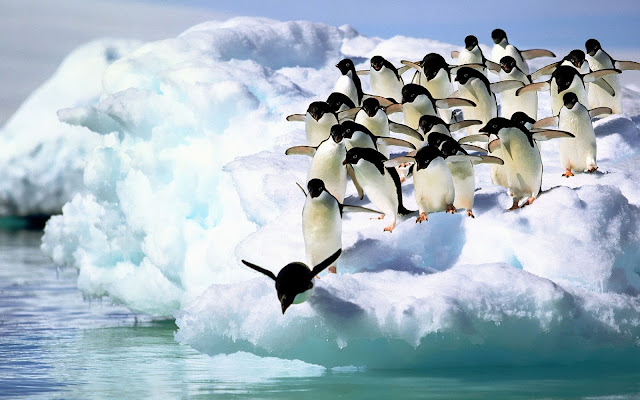 Beautiful wallpaper of a group of penguins diving off the ice into the water